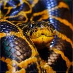 Парагвайская, или желтая анаконда - Eunectes notaeus