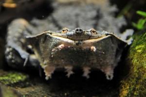Новое животное на нашей выставке! Черепаха Мата-мата Chelus fimbriatus