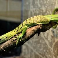 Новое животное на нашей экспозиции: Зелёный варан, или изумрудный варан, или смарагдовый варан (лат. Varanus prasinus)